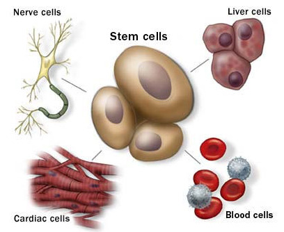 Stem-cells-can-differentiate-into-other-cells