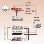Organoids for personalized cancer treatment